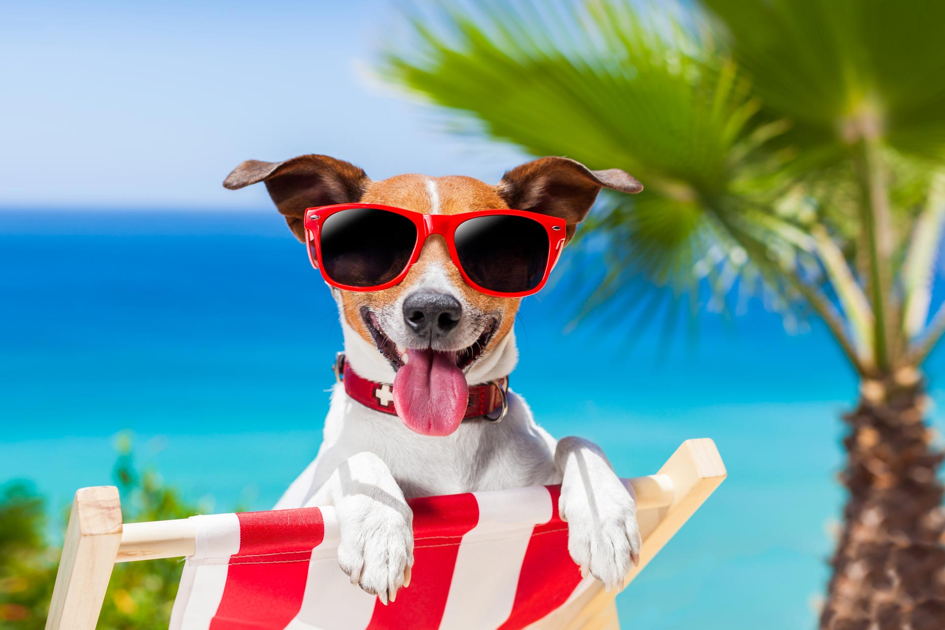 Smol dog in beach chair wearing red sunglasses